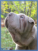 sharpei, shar-pei photo ::      Antuan Tai-Li Klondaik Best Pearl :: click on picture to enlarge
